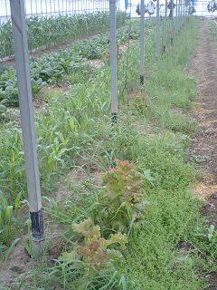 海老芋収穫風景