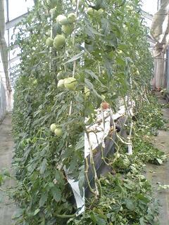 トマト 整枝作業