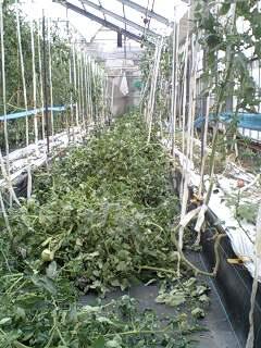 トマト 収穫終了