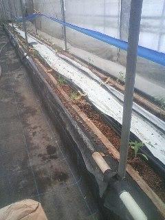 トマト 定植