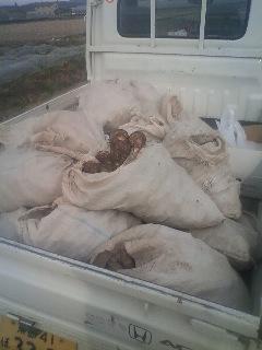 海老芋 収穫