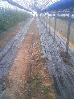 トウモロコシ 定植