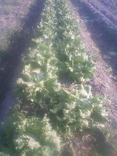 レタス 収穫開始