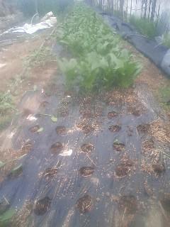 ホウレンソウ 収穫開始