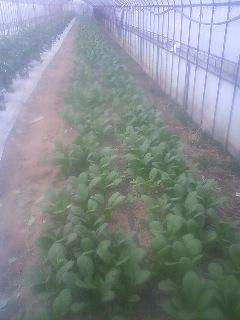 コマツナ 収穫開始