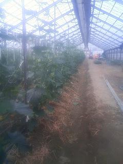 キュウリ 収穫開始