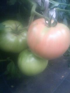 トマト 観察