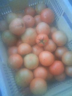 トマト 収穫開始