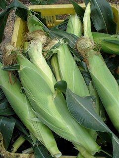 トウモロコシ 収穫開始