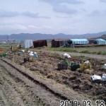 万願寺とうがらし 整枝作業 (2010-05-15)