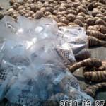 今期最後の海老芋の出荷作業