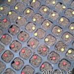 エダマメ 播種 (2010-03-31)