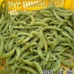 スナップエンドウ 収穫開始 (2010-04-06)