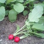 ラディッシュ 収穫開始 (2010-04-12)