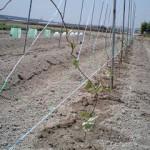 ヤマノイモ 整枝作業 (2010-05-17)