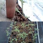 トマト 定植 (2010-05-20)