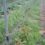 ネギ前の緑肥試験結果