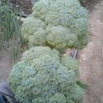 ブロッコリー 収穫 (2010-05-30)