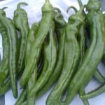 京野菜 万願寺とうがらし 2010初収穫。