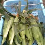 トウモロコシ5日ほど前から収穫開始