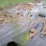 アスパラガス 定植 (2010-06-21)