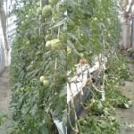 トマト 整枝作業 (2010-06-23)