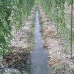 ヤマノイモ潅水