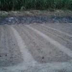 キャベツ 定植 (2010-07-28)