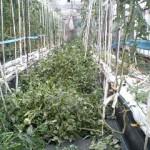 トマト 収穫終了 (2010-07-29)
