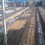 もう一度ネギの定植作業。