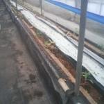 今年のトマトの定植