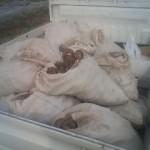 海老芋収穫