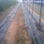 トウモロコシ 定植 (2011-03-21)