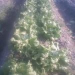 レタス 収穫開始 (2011-04-14)