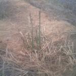 アスパラガス萌芽しはじめる。