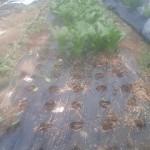 ホウレンソウ 収穫開始 (2011-04-22)