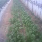 コマツナ 収穫開始 (2011-05-06)