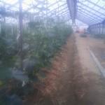 キュウリ 収穫開始 (2011-05-07)