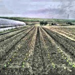 一昨日わらを集めた田んぼにキャベツとはくさいを定植した。