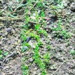 一週間前に蒔いたクローバーの芽がきっていた。