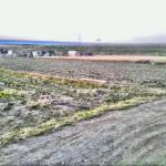 今年の師走は、海老芋で大忙しでした。
