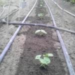 さんど豆定植。