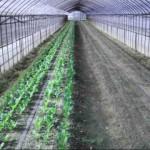 コマツナ 収穫開始 (2014-05-10)