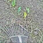 上農は草を見ずして草を取る 海老芋編 – 上農は草を見ずして草 を取り、中農は草を見て草を取り、下農は草を見ても草を取らず。の格言によれば、 毎年海老芋栽培において中農で、しかもときどき下農にさえなります。(-_