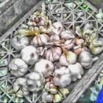 ニンニク栽培において乾燥は非常に大事だというこ とを痛感した。