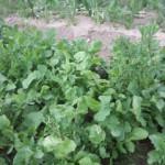 ルッコラ 収穫 (2015-05-15)