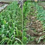 ジャンボニンニク 収穫 (2015-05-19)