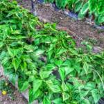 インゲン 収穫 (2015-06-29)