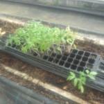 2016トマトの苗の定植。