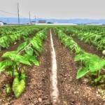 2016海老芋1回めの追肥と土寄せなんとか終了。